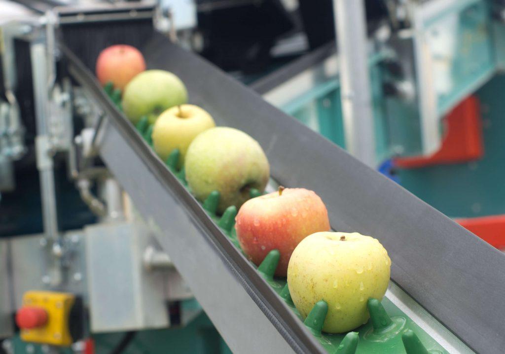 Apples rolling down a conveyor belt.