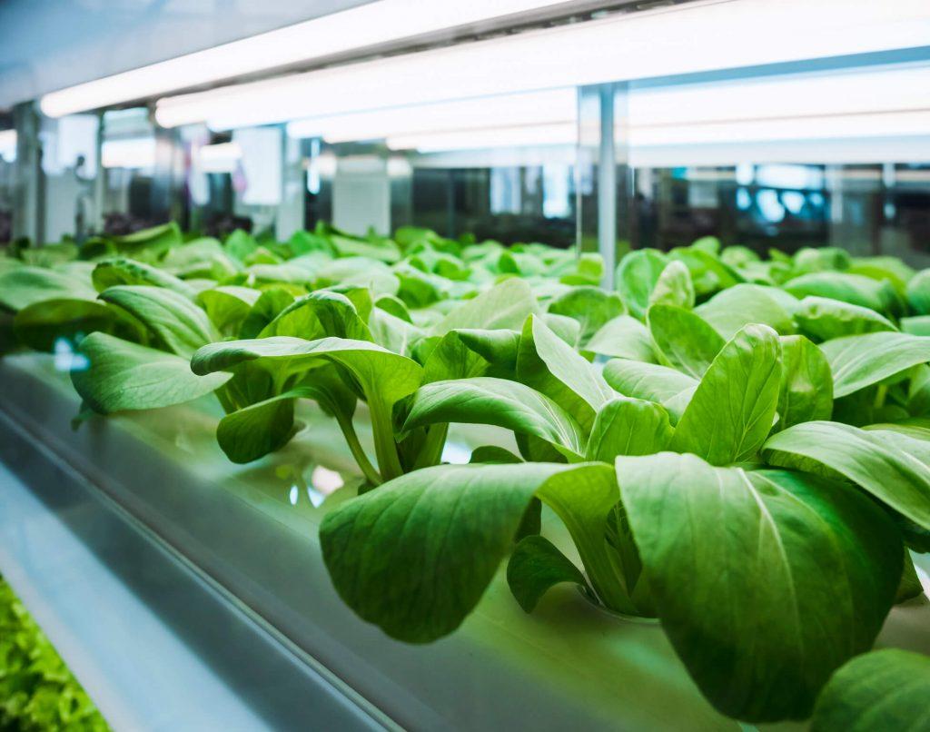 Vegetables being grown in a lab
