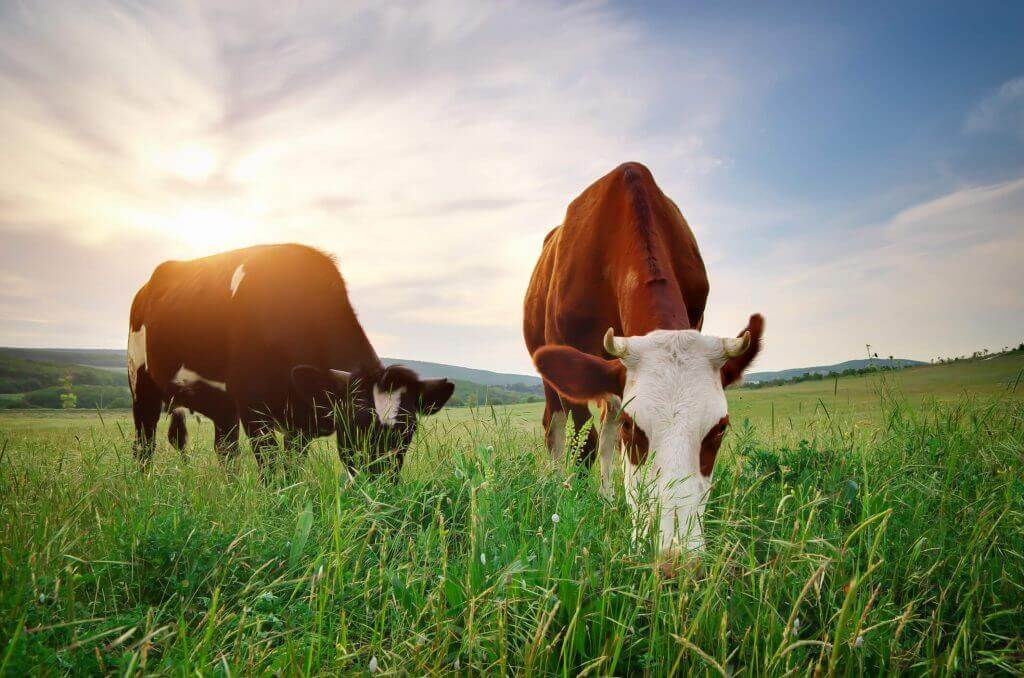 A pair of cows eating grass in a pasture