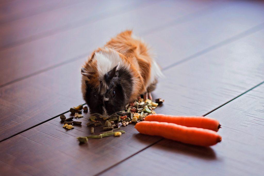 A guinea pig eating food