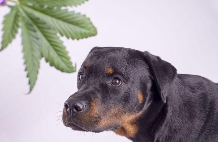 A hemp leaf and a Rottweiler dog.